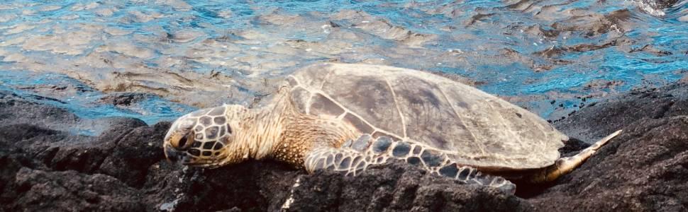 Green Sea Turtle in Hawaii.