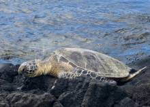 Where to find sea turtles in Hawaii